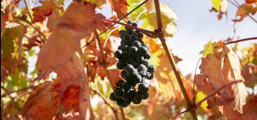 uvas de los mejores vinos del somontano