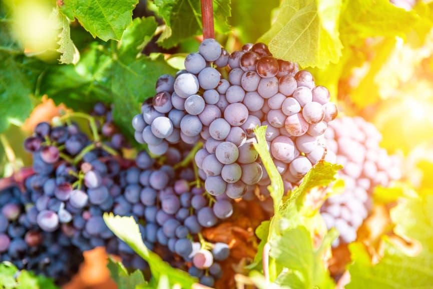 uvas rioja
