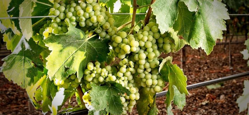 vinos IGP bajo Aragón
