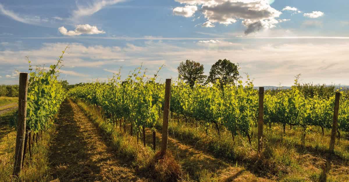elaborar vino historia